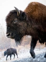 Bisons am Alaska Highway, Kanada