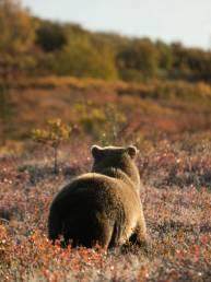 Grizzlybär in Denali, Alaska